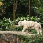 Mauling Tiger