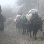 Yaks & lady in fog